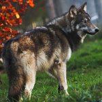 Толкование снов с волком
