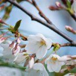 Гадаем на ветке вишни