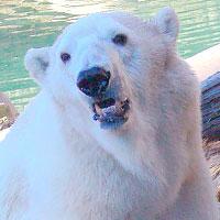 Тотем Белый медведь по зороастрийскому гороскопу