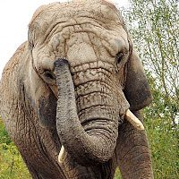 Зороастийский тотем Слон