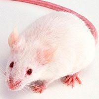 Толкование снов с крысой