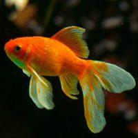 Гадание Золотая рыбка на 3 желания - способы и значения
